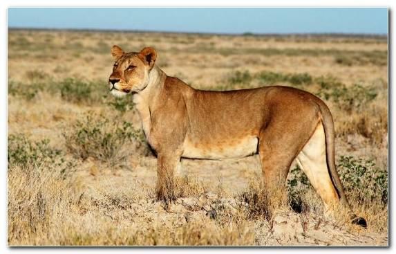 Image Wildlife Masai Lion Big Cats Jaguar Big Cat