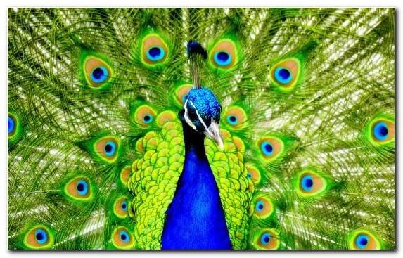 Image wildlife pierrot peacock dance beak bird