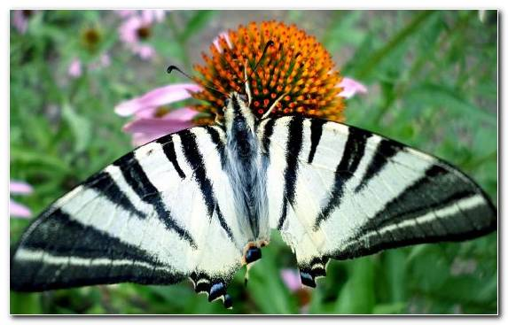 Image Wildlife Plant Monarch Butterfly Brush Footed Butterfly Flora