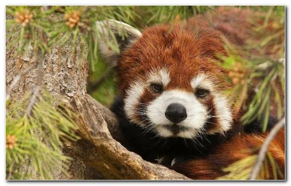 Image Wildlife Red Panda Animal Fauna Snout