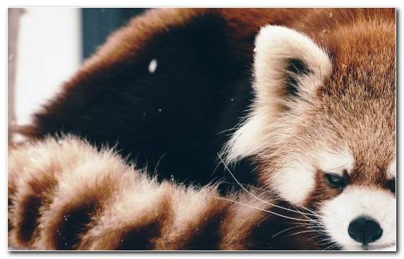Image Wildlife Red Panda Fur Cuteness Snout