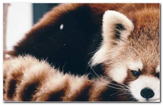 Image Wildlife Red Panda Fur Cuteness Snout
