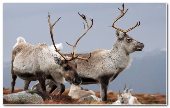 Image Wildlife Reindeer Animal Horn Deer