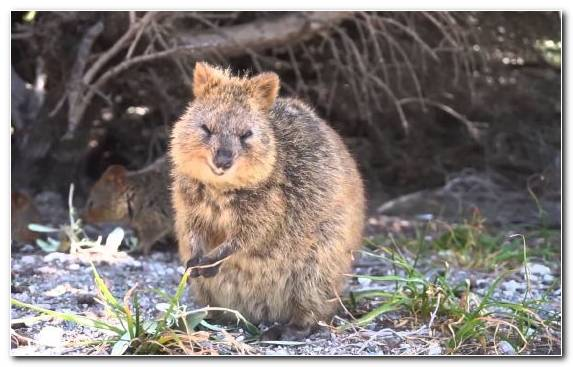 Image Wildlife Rodent Beaver Snout Animal