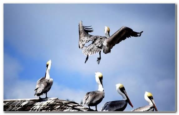 Image Wildlife Seabird Pelican Sky Beak