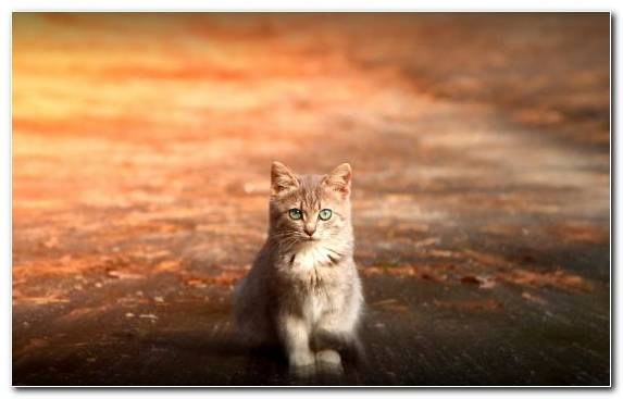 Image Wildlife Siamese Cat Small To Medium Sized Cats Moustache Cuteness