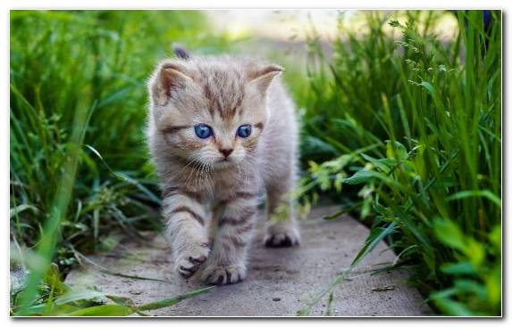 Image Wildlife Siberian Cat Munchkin Cat Norwegian Forest Cat Dog Like Mammal