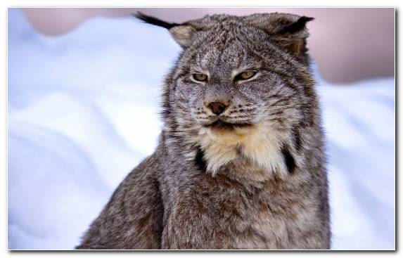 Image Wildlife Small To Medium Sized Cats Fauna Felidae Canada Lynx