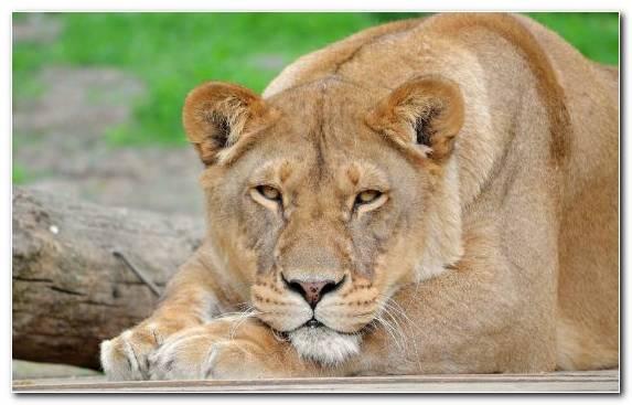 Image wildlife snout fauna mammal lion