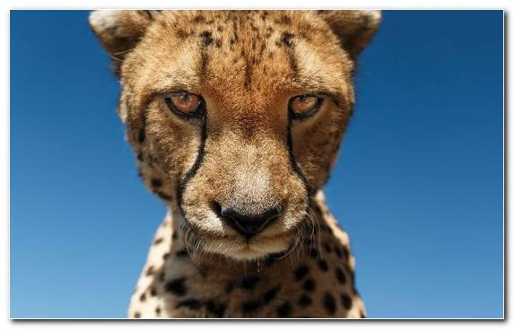 Image Wildlife Snout Whiskers Cheetah Lion