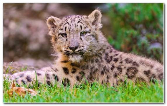 Image Wildlife Snow Leopard Leopard Terrestrial Animal