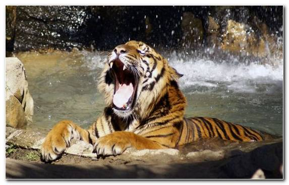 Image Wildlife Terrestrial Animal Big Cat Tiger Hunting Fauna