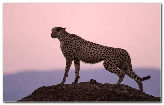 Image Wildlife Terrestrial Animal Cheetah