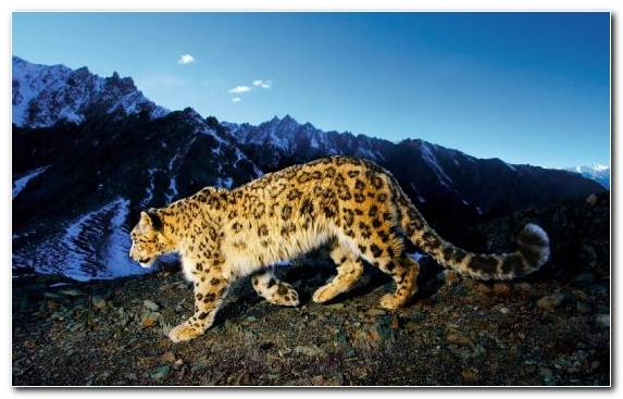 Image Wildlife Terrestrial Animal National Park Big Cats Snow Leopard