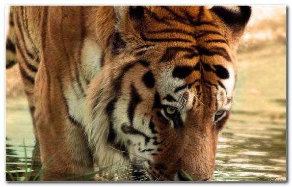Image Wildlife Tiger Bengal Tiger Big Cat Terrestrial Animal