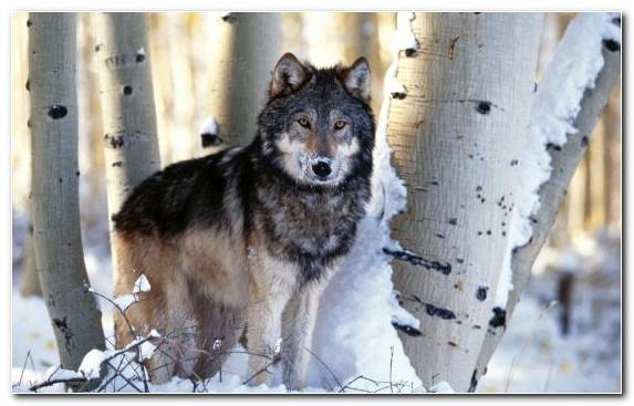 Image Wildlife Trees Fauna Coyote Wolfdog