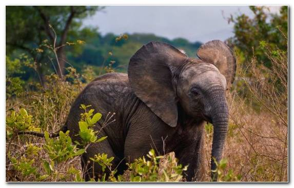 Image Wildlife Tusk Indian Elephant Desert African Elephant
