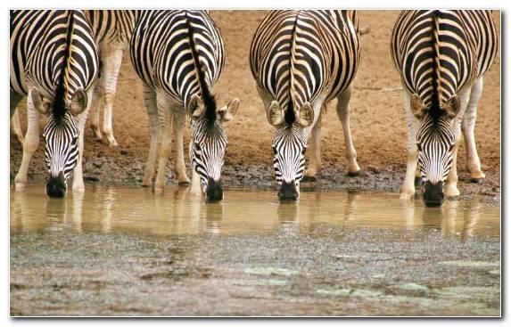 Image Wildlife Victoria Falls Maasai Mara Zebra Terrestrial Animal