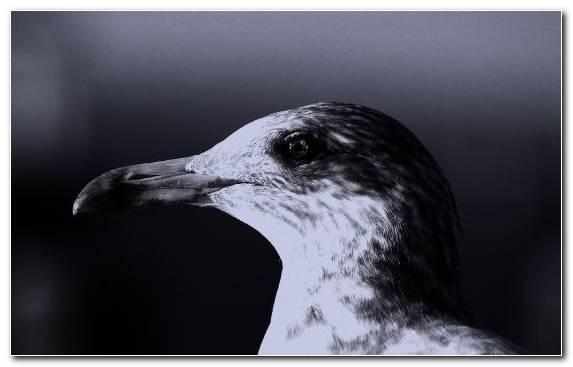 Image Wildlife Water Gulls Great Black Backed Gull Gull
