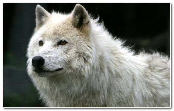 Image Wildlife White Fur Terrestrial Animal Canis Lupus Tundrarum