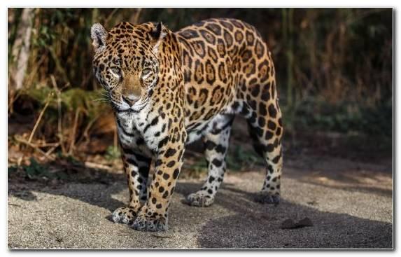 Image Wildlife Wildcat Black Panther Dog Like Mammal Big Cats