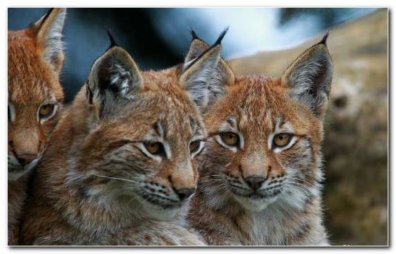 Image Wildlife Wildcat Terrestrial Animal Eurasian Lynx Small To Medium Sized Cats