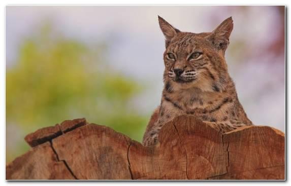Image Wildlife Wildcat Terrestrial Animal Fauna Eurasian Lynx