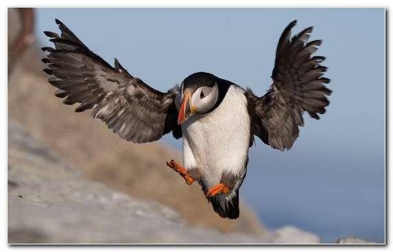 Image Wing Wildlife Beak Atlantic Puffin Charadriiformes
