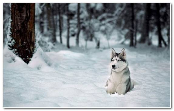 Image Winter Siberian Husky Dog Husky Sakhalin Husky