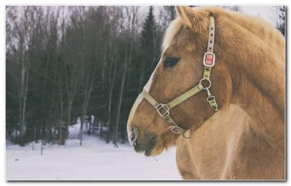 Image Winter Icelandic Horse Snow Horse Stock Horse