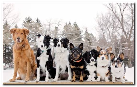 Image Winter Snow Dog Breed Border Collie Dog Like Mammal