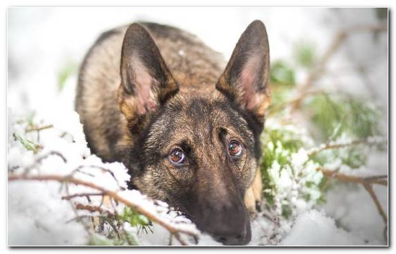 Image Winter The German Shepherd Dog Breed Dog Like Mammal Breed