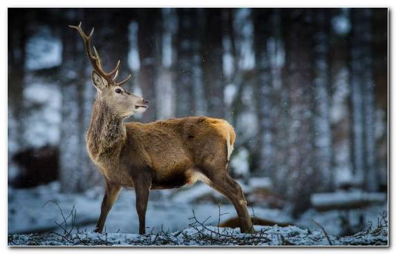 Image Winter Wilderness White Tailed Deer Elk Antler