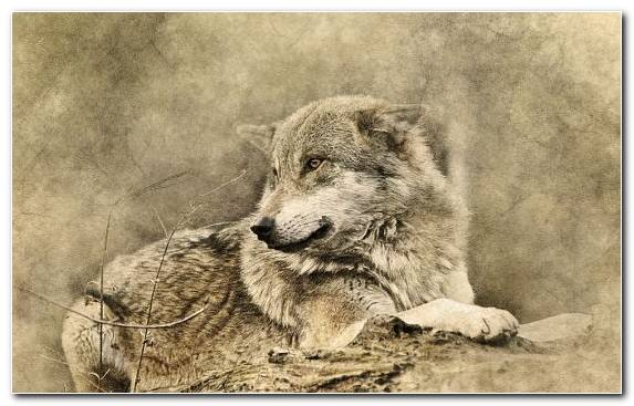 Image Wolf Sketch Wildlife