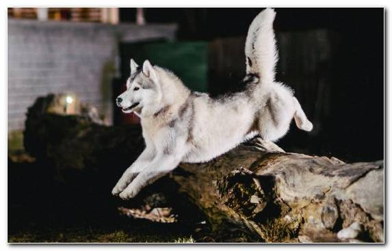 Image Wolfdog Northern Inuit Dog Alaskan Malamute Samoyed Dog Husky