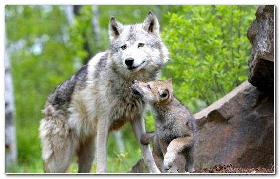 Image wolfdog puppy wolf saarloos wolfdog Mother