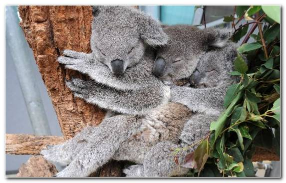 Image Wombat Marsupial Zoo Bear Koala