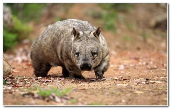Image Wombat Wildlife Snout Terrestrial Animal Marsupial