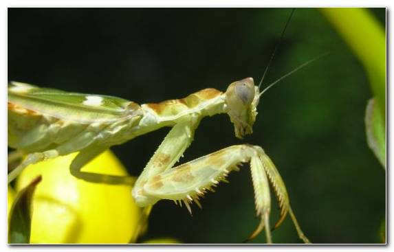 Image Yellow Grasshopper Macro Photography Wildlife European Mantis
