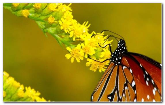 Image Yellow Invertebrate Brush Footed Butterfly Monarch Butterfly Pieridae