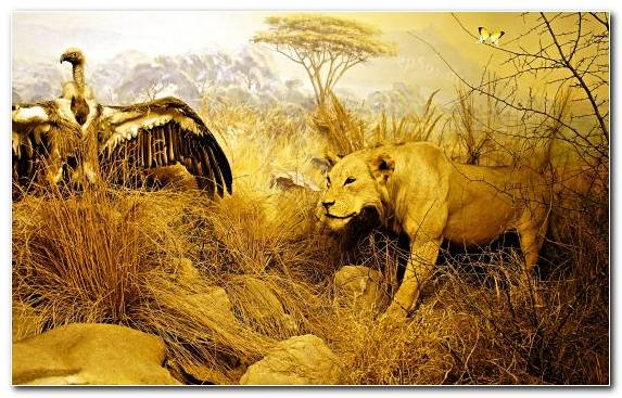 Image Yellow Terrestrial Animal Lion Wilderness Ecosystem