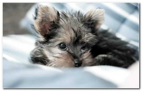 Image Yorkshire Terrier Puppy Morkie Dog Crossbreeds Biewer Terrier