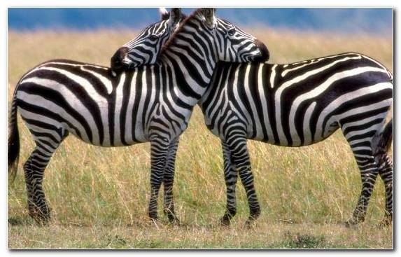 Image zebra grasses grass love terrestrial animal