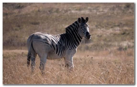 Image Zebra Grassland Mustang Horse Terrestrial Animal Savanna