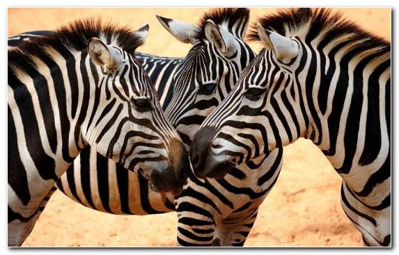 Image Zebra Herd Terrestrial Animal Neck Horse