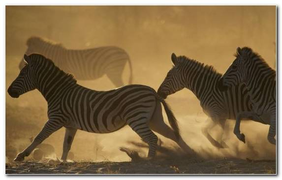 Image Zebra Nature Documentary Film Film Herd