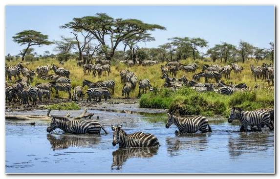 Image Zebra Safari Animal Nature Reserve Animal Migration