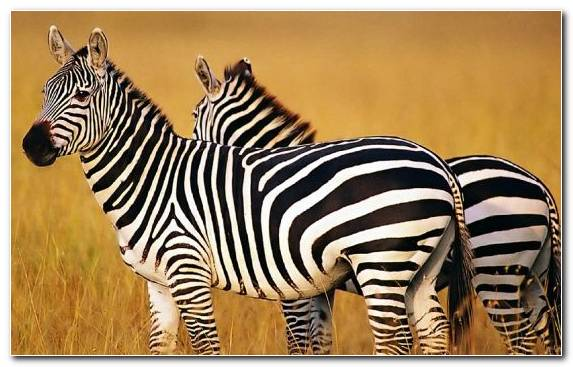 Image Zebra Safari Horse Animal Wildlife