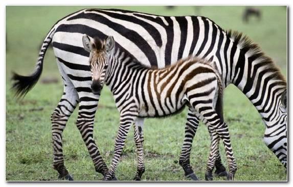 Image Zebra Terrestrial Animal Quagga Fauna Wildlife