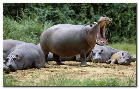 Image Zoo Snout Terrestrial Animal Wildlife Hippopotamus
